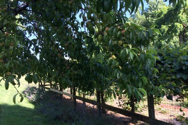 Nido-orchardA-copy