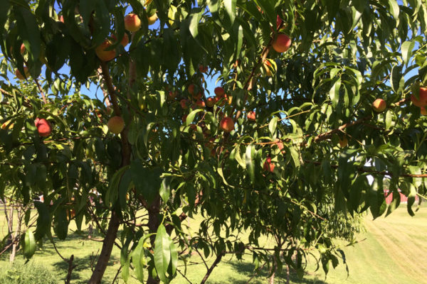 Nido-orchardc