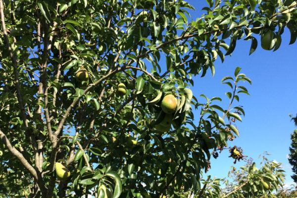 Nido-orchardd