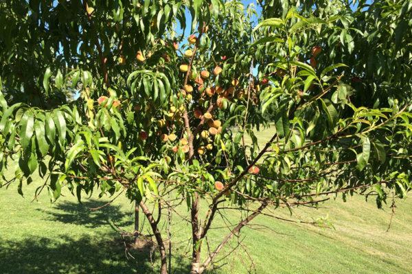 Nido-orchardf