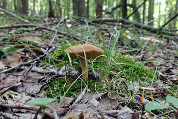 Boletes-Mushroom9
