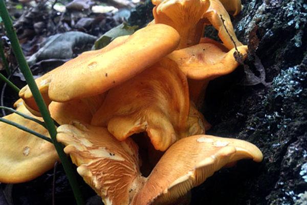 Jack-O-Lantern-Mushroom
